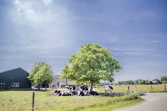 Koeien bij een boerderij zoeken schaduw op als de zon aan de hemel brandt. De zonnedaken op koeienstallen leveren juist op die momenten veel elektriciteit die gebruikt kan worden voor -bijvoorbeeld- de koeling in de zuivelfabrieken van FrieslandCampina.